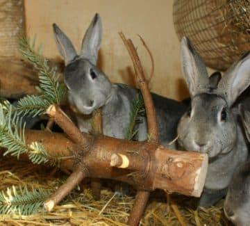 Kaniner med juletræ