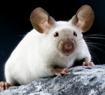 Smerter hos mus