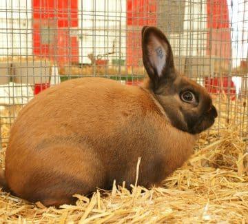 Madagascar kanin