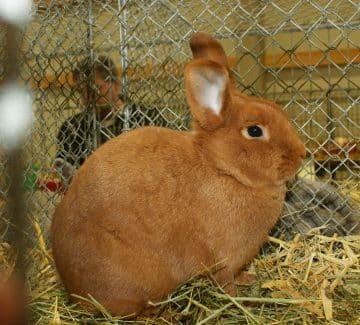 Sachengold kanin