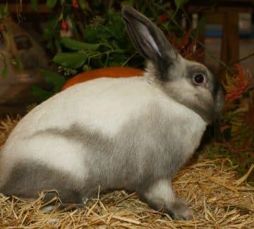 Sellander kanin