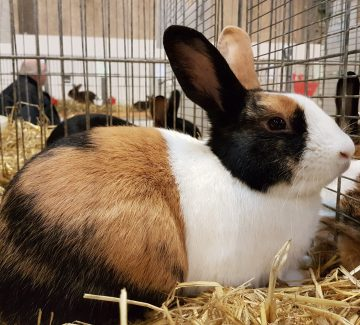 Japaner tegnet Hollænder kanin