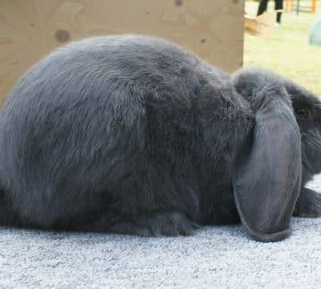 Blå Lille Tysk Vædder kanin