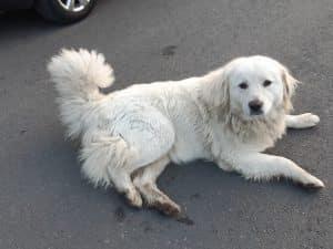 Gadehund i Georgien