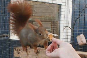 Egern smager på tørrede æbler