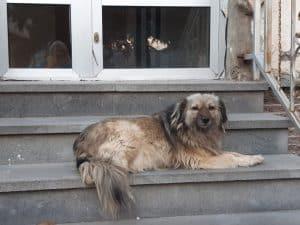 Gadehund