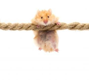 Hamster på reb