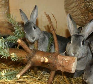 Kaniner spiser grangrene